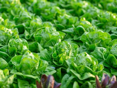 Fresh Butterhead lettuce leaves, Salads vegetable hydroponics in the agricultural farm.