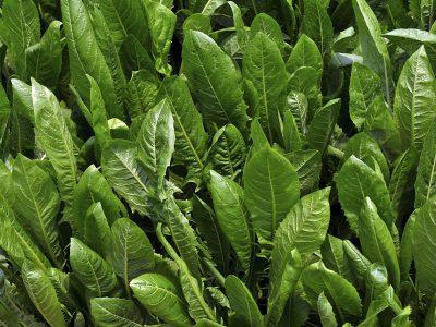 Chicory plantation in popular garden vegetables