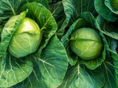 young cabbage grows in the farmer field, growing cabbage field in diffused light on the sunset.