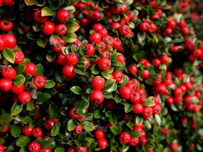 Bright red cotoneaster berries among small green leaves