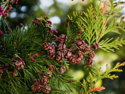 Photo depicting a branch of juniper blossoming in springtime, fruiting. New fresh brunches of evergreen juniper in the garden, Close up, blurred background. Europe, Balkan Mountains.
