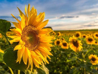 Field of blooming sunflowers in a beautiful summer day
