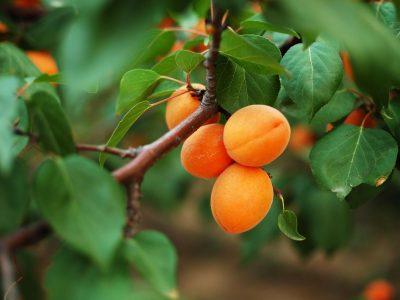 apricot 6