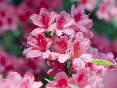 Japanische Azalee (Rhododendron japonicum) im Garten