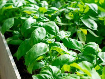Green basil growing on garden beds. Homegrown produce