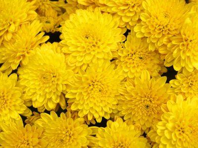 yellow chrysanthemum flower background