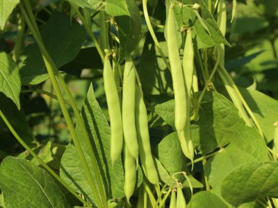 Beans growing in garden. Homegrown organic food, beans ripening