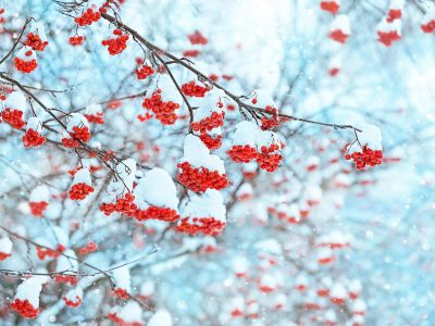 Rowan tree in snow. beautiful natural winter background. bunches