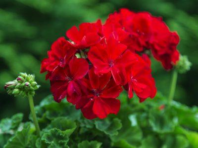 red Pelargonium in the garden. Red geranium flowers in summer ga