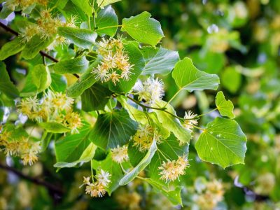Blossom of linden in sunny weather, background. Melliferous plants