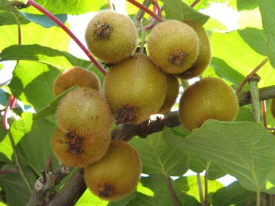branch with kiwis on the background of leaves illuminated by the