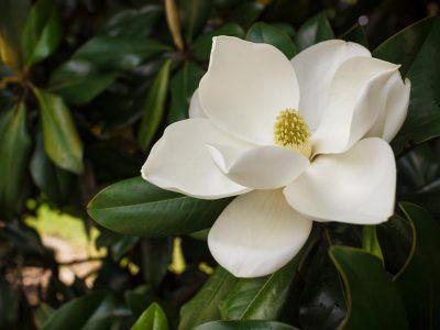 Flower of the Magnolia grandiflora, the Southern magnolia or bul