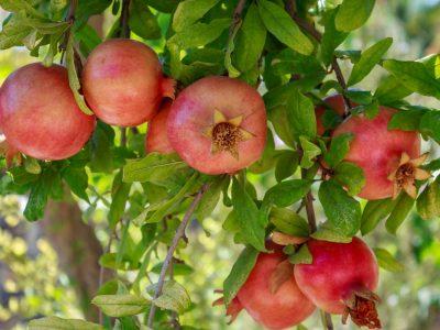 Pomegranate fruits on a branch
