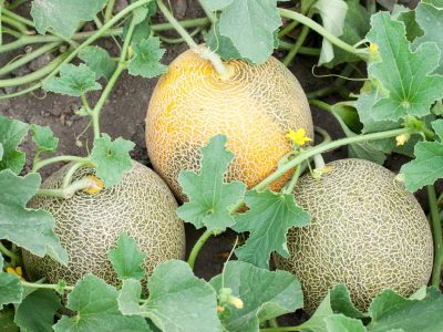 Part of melon plant wit fruits and blossoms