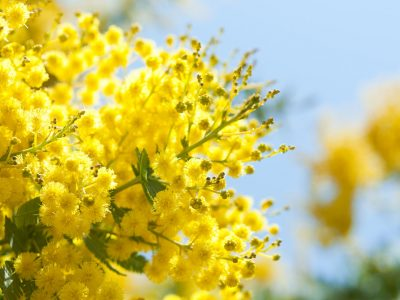blooming mimosa tree and blue sky