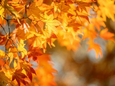 Beautiful maple leaves in autumn sunny day in foreground and blurry background in Kyushu, Japan. No people, close up, copy space, macro shot.