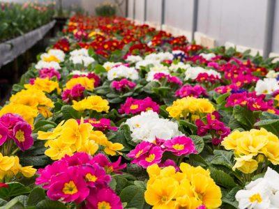 Colorful culture primrose greenhouse