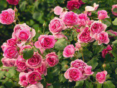 Bush of pink roses, summertime floral background