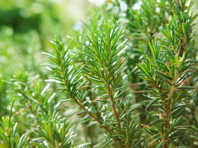 close up of  green rosemary leaves in agriculture plantation with beautiful blur background