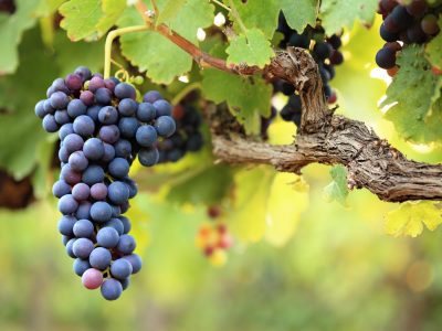Red wine grapes on old vine, lush green leaves