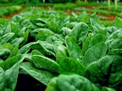 Rows of fresh young garden spinach.