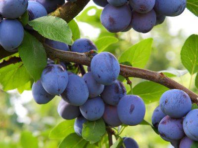 Pflaumen (Prunus domestica)